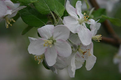 Flower blossom on fruit tree at Anderson Orchard in Mooresville, Indiana